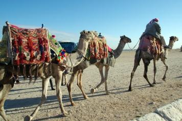 観光用のラクダがたくさんいます。 写真を撮っただけでお金を要求されることもあるそうで、こいつら要注意です。