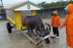 海を渡る水牛車で由布島へ!雨で水牛さんの機嫌がよく早く渡れました。意味ないけど・・・